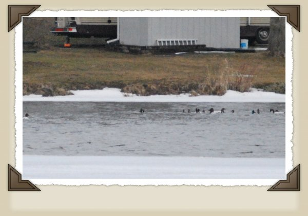 Group of Canvasbacks.