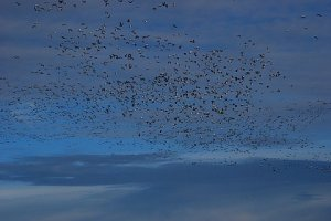 The birds were numerous.