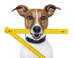 dog holding measuring stick