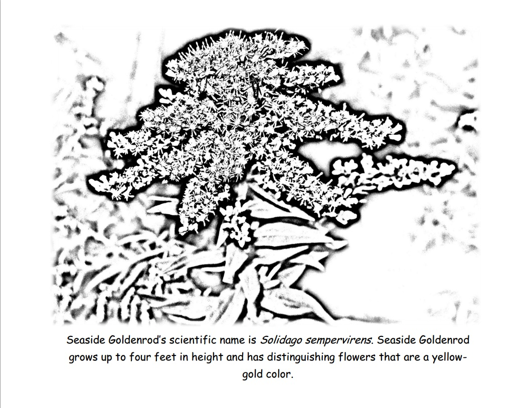 Coloring Page 4: Seaside Goldenrod