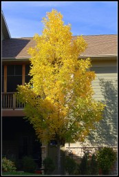 Our Ash Tree