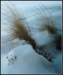 Snowed-In Grasses
