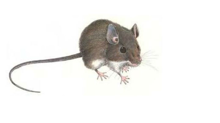Deadly Hantavirus Detected In San Mateo County Deer Mice – CBS San ...