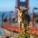 Coyote Captured In Stunning Photo Taken At Golden Gate Bridge Overlook