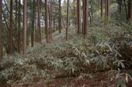 植林地の笹、間伐良く笹元気