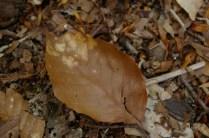 ブナの葉、固く腐り難い