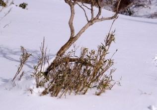 雪から出た笹