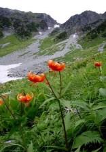 ⑦お花畑はクルマユリが最盛期。
