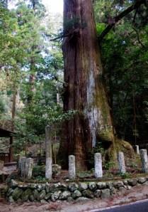 県指定天然記念物「矢頭の大杉」