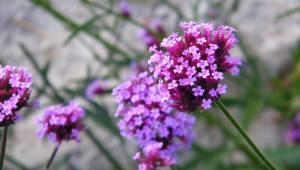 Verbena Flower