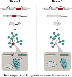 Cartoon: differently spliced forms can lead to different protein interactions
