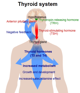 Overview of thyroid system: hormone flow