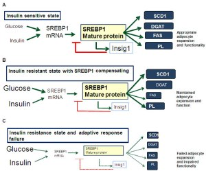 Three-stage hypothetical model of Insig1/SREBP1 SCD1 adaptive response in adipose tissue describing the evolution from insulin sensitive states to obesity-induced insulin resistance and final metabolic failure.
