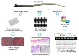 Screen strategy. On receipt, tail skin was divided into three parts: one was processed for epidermal wholemount immunostaining, one for paraffin conventional histology and one for genomic DNA extraction. Credit: doi:10.1038/ncomms4540