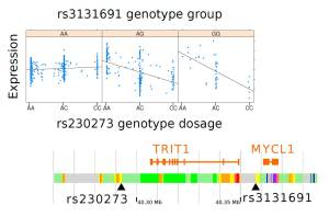 Two loci, either side of the gene TRIT1, combine to affect the activity of this gene. The C allele of rs230273 reduces the amount of mRNA the gene produces, but only in the presence of the G allele of rs3131691. Credit: Andrew Brown