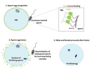 Which proteins on the surface of your father's sperm and mother's egg bound to each other at the moment you were conceived? Credit: DOI: 10.4161/cc.29461