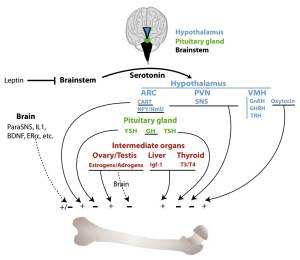 The brain regulates bone mass through the regulation of the sympathetic nervous system; by secreting hormones that directly act on bone cells and by controlling the synthesis and secretion of hormones in the intermediary organs.  One of the most important of these hormones is oestrogen. Credit: DOI:10.1016/j.abb.2014.06.005