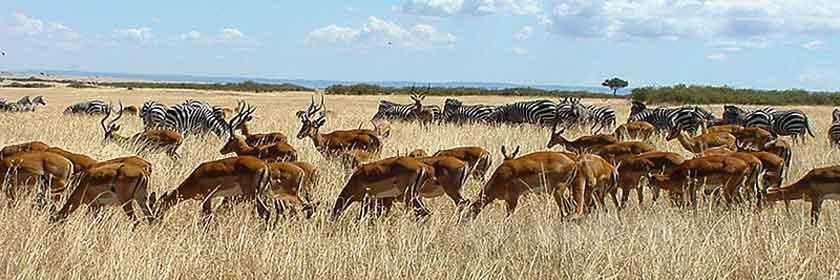 Herds of zebra and impala gathering on Masai Mara plain. Credit: Roomtorun