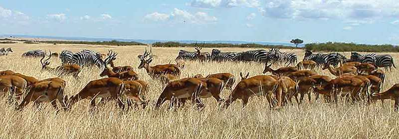 Herds of zebra and impala gathering on Masai Mara plain. Credit: Roomtorun