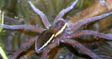About spiders (specifically the Fen Raft spider, Dolomedes plantarius) and where to get them from.