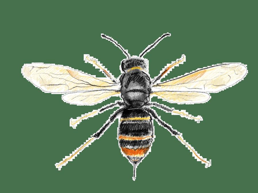 Asian hornet from above