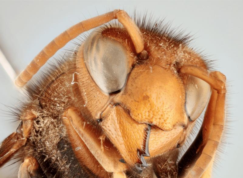 Close up of Asian hornet's head