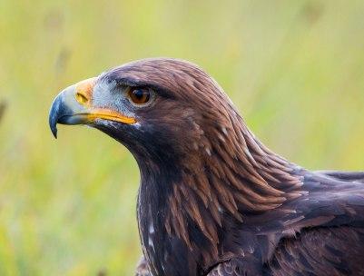 eagle_body2