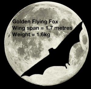 The golden flying fox is the largest bat known