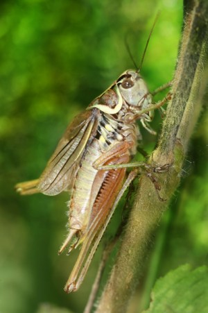 Bush crickets have issues #1 - their genomes are 2.5 times bigger than we expected. Image credit: Richard Bartz