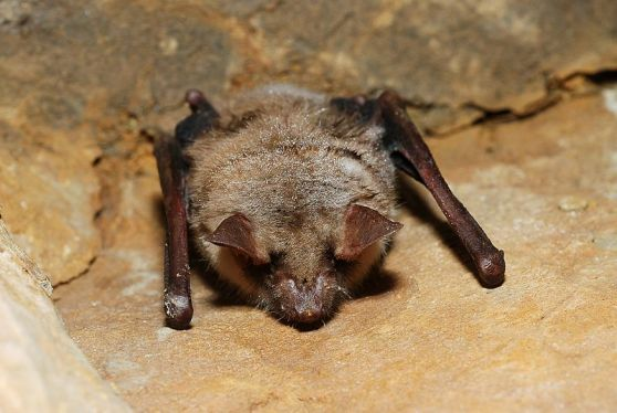 The Myotis myotis species of bat is one of the longest lived, with some known to live to the ripe age of 42 years old. Image credit: Gilles San Martin, Wikimedia Commons