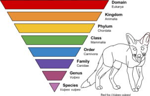 How species fit into the order of life. An animal such as a red fox would be in the domain of Eukaryota, in the Canidae family and the species Vulpes vulpes