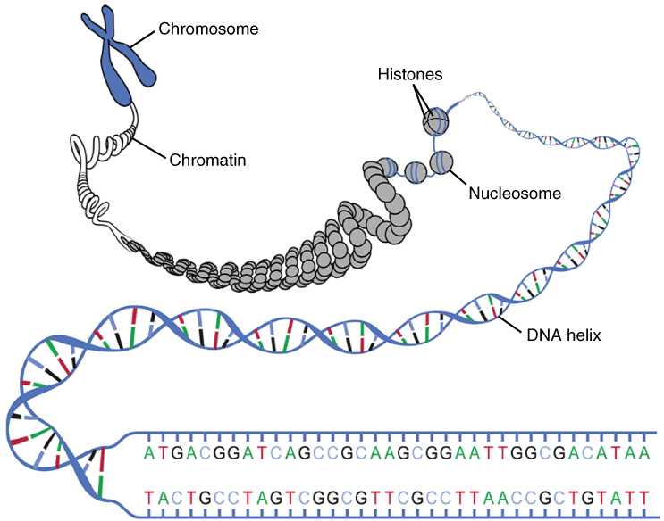 Structure of DNA in our genomes. Image credit: OpenStax, Wikimedia Commons