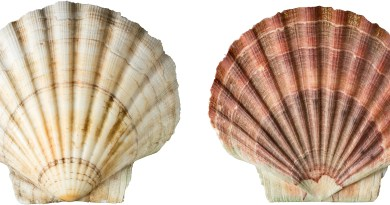 Prising open the scallop genome
