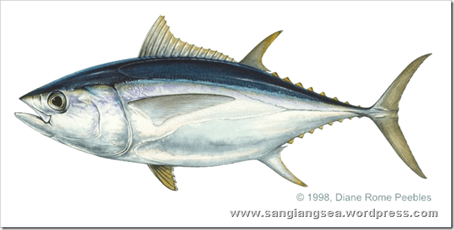 Bagaimana Cara Memancing Ikan Tuna  Sangiang Sea