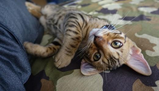 男の一人暮らしで猫を飼うと結婚できない?男性看護師が飼うべきペットについて考えてみた