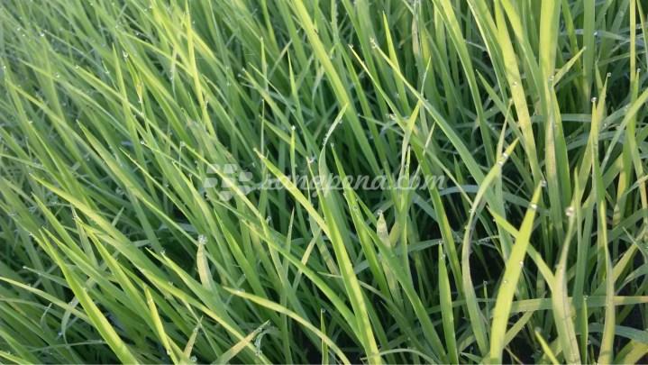 Benih padi yang masih hijau, belum ditanam ulang. Lokasi di areal persawahan desa medalem - Blora Jawa Tengah
