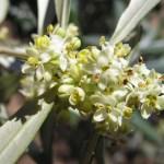 olivo-flor-crop (150 x 150)
