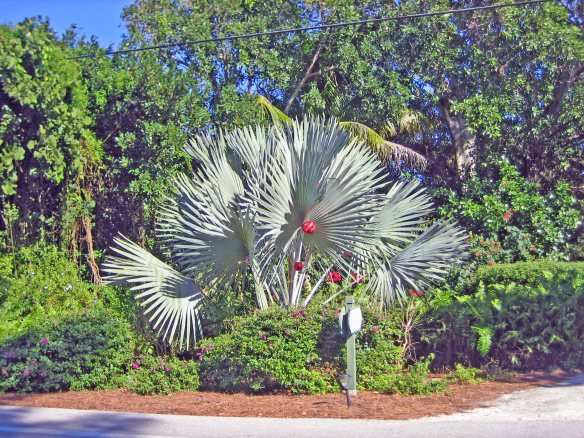 Bismark palm on Captiva Drive