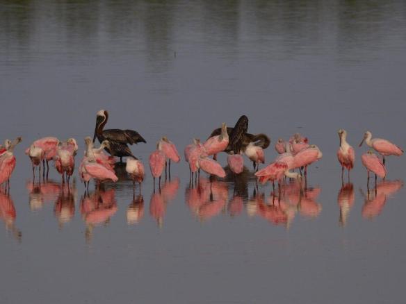 Roseate spoonbills in Ding Darling Wildlife Refuge, photo by Hans