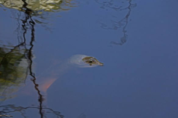 Here's the resident turtle in the bayou behind our lot listing at 4626 Buck Key Rd, photo by David Anderson