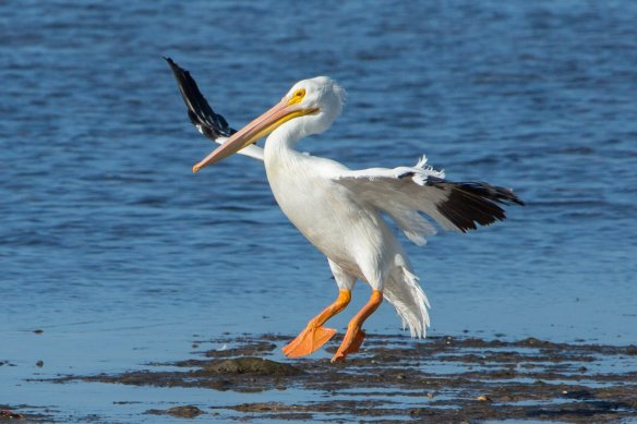12-28-15 Scott 7 White pelican