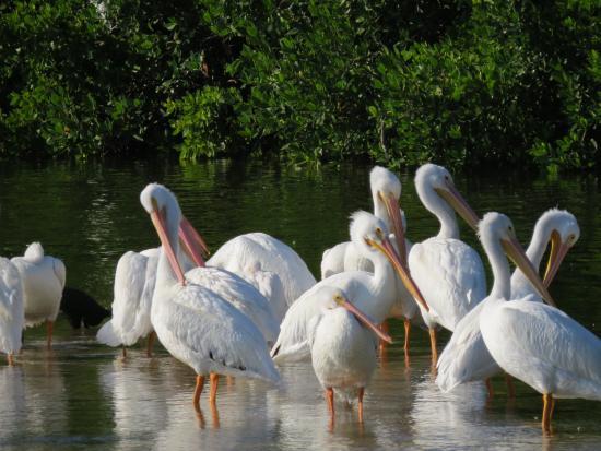 white-pelicans from trip advisor