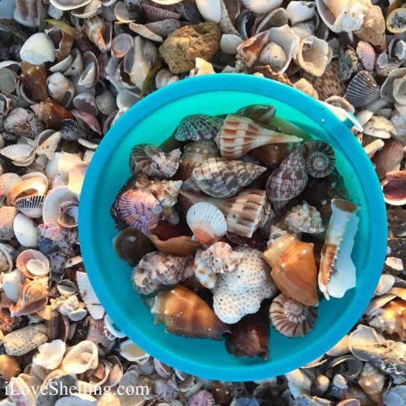 pam-shells-01-25-17