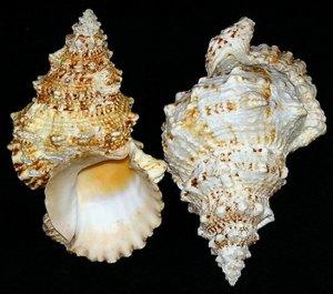 odd shell