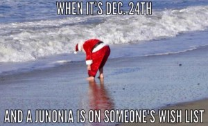 Santa looking for junonia