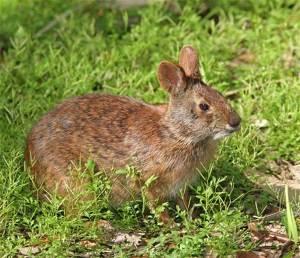 marsh bunny