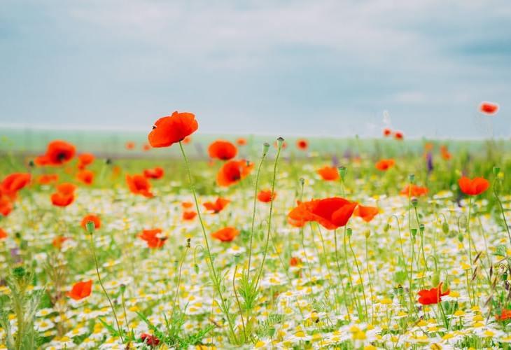 erbe di campo commestibili