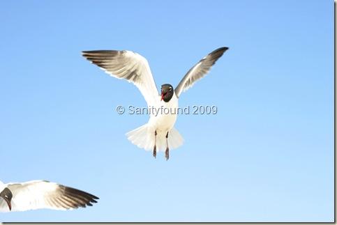 Floridian Gulls