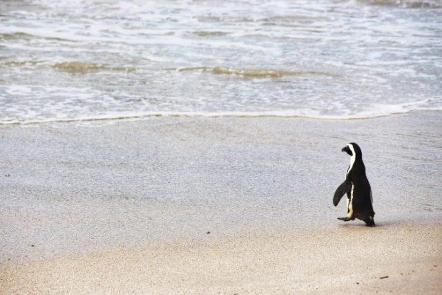 african penguin jackass simons town cape town