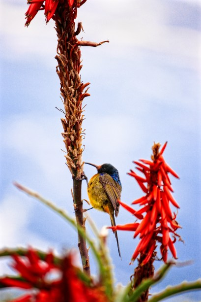 Orange breasted Sunbird - Cape Point South Africa